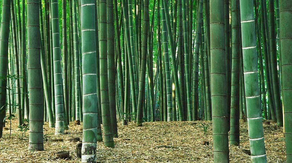 Bambusparkett wird aus Moso Bambuswäldern in China hergestellt